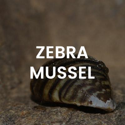 img-zebra-mussel